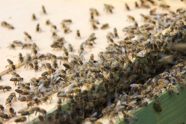 Wärme statt Gift: Durch Schwitzen sollen Bienen die gefährliche Varroamilbe loswerden (Quelle: Maja Dumat/ CC BY 2.0)