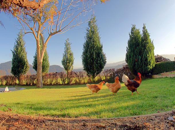 Auf dem Bauernhof: In vielen Fällen werden Hühner nicht so artgerecht gehalten (Quelle: Herwig Ster/ CC BY-NC-SA 2.0)