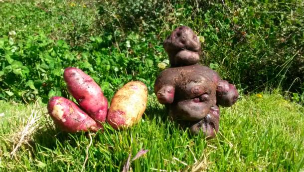 Peruanische Kartoffen sind bunt und vielfältig - und ihr traditioneller Anbau eine gute Geschichte wert -