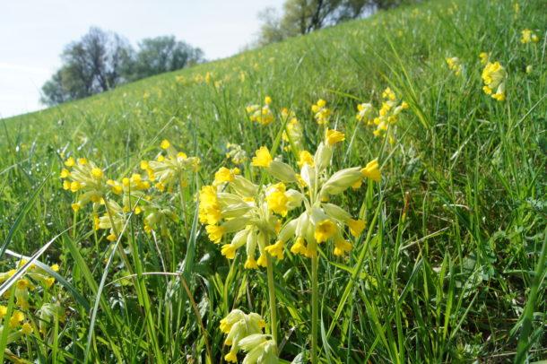 Die Wiesen-Schlüsselblume ist die Blume des Jahres 2016 wird vermehrt und ausgepflanzt (Quelle: www.lebensader-oberrhein.de/)